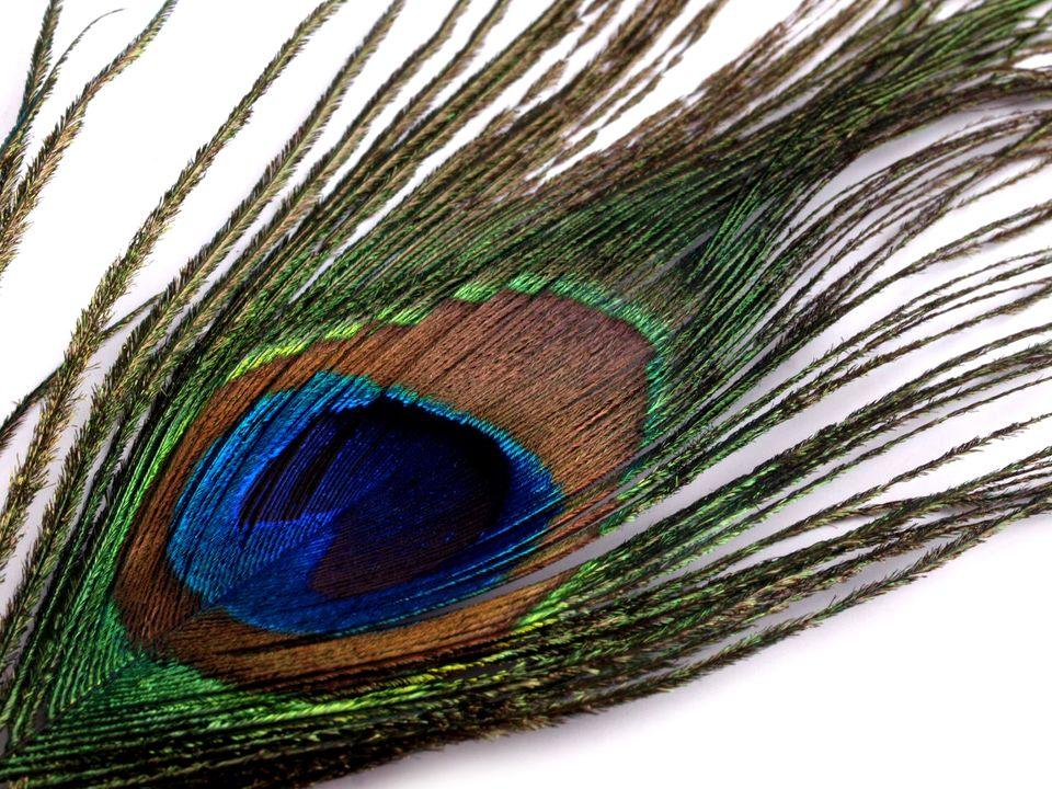 Paví peří délka 25-30 cm