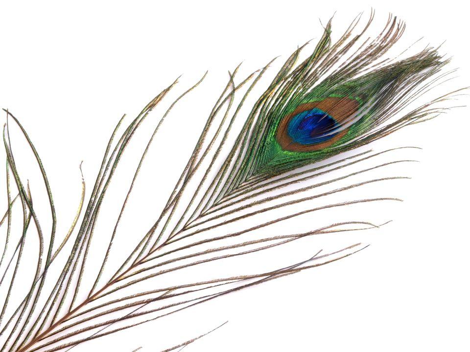 Paví peří délka 70-110 cm