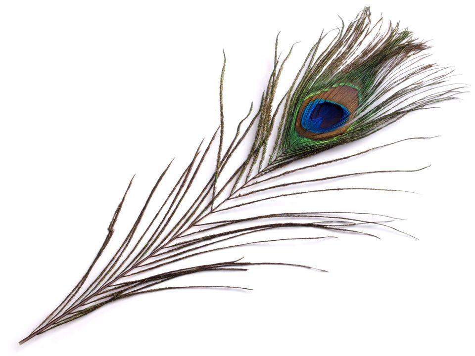 Paví peří délka 25-30 cm 10 ks